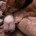 Shelby's journey from four paws to three!